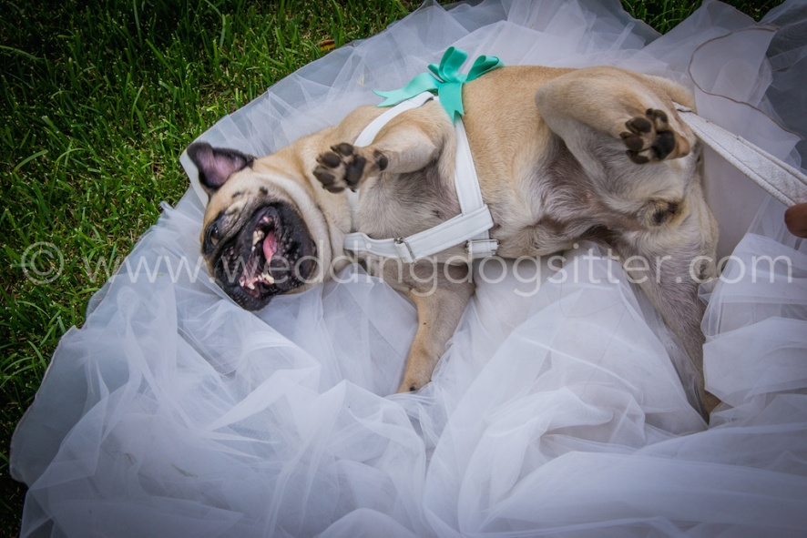 CANE SUL VESTITO DA SPOSA WEDDING DOG ON BRIDE DRESS WEDDING DOG SITTER www.emotionalphotographer.com_wds_carlino (188 di 208)