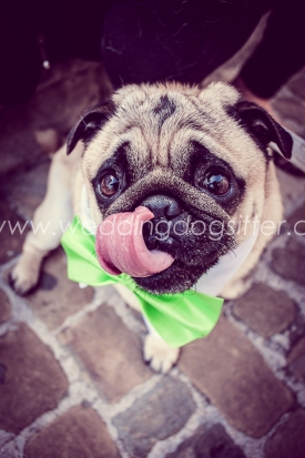CARLINO AL MATRIMONIO PAGGETTO WEDDING DOG SITTER MARCHE PESARO www.emotionalphotographer.comforWeddingDogSitter (73 di 180)